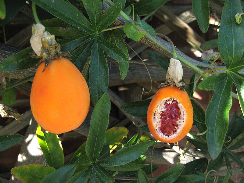 пассифлора ягоды