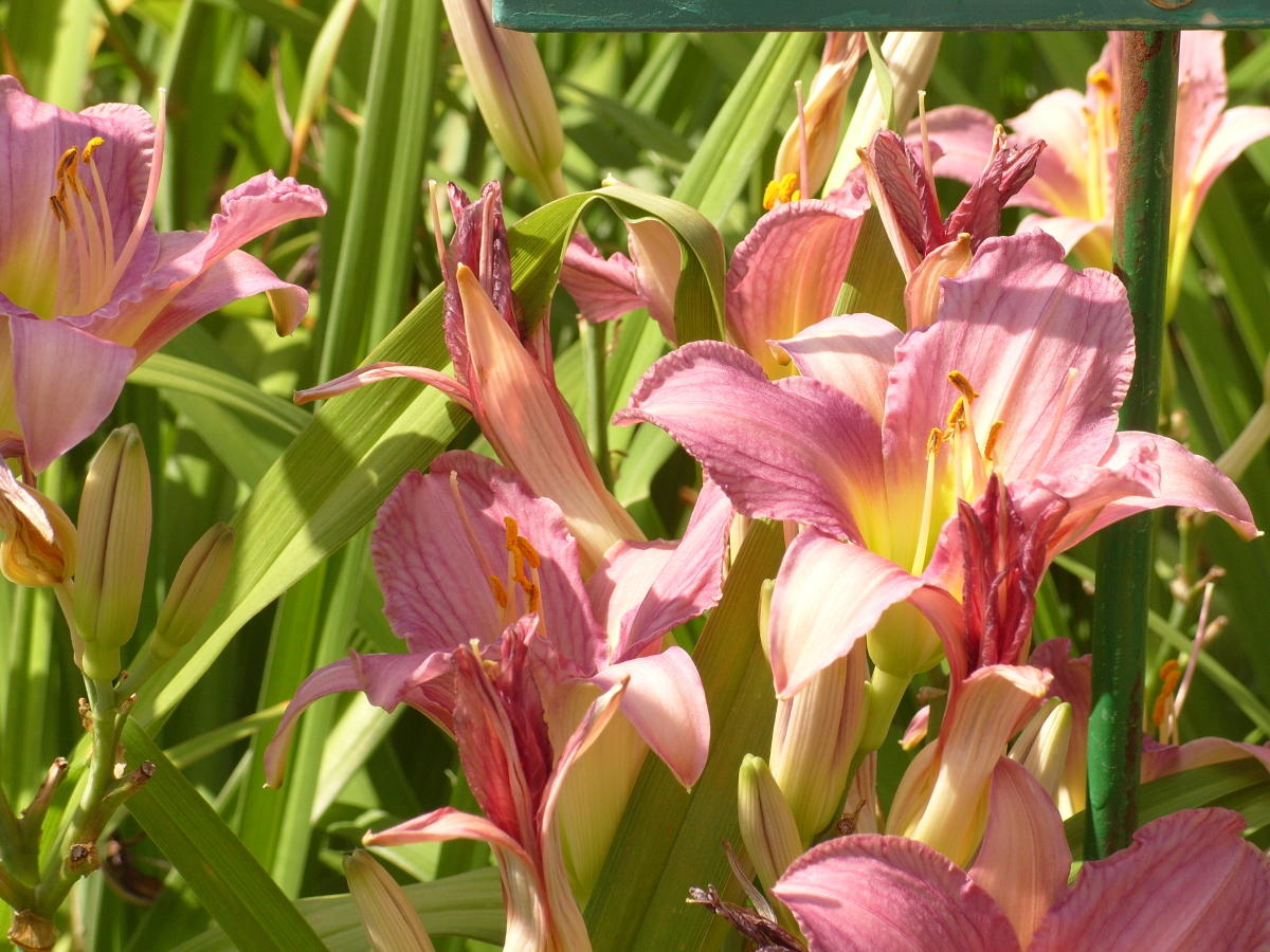 сорта лилейников небольшие цветки сорт Yunlong Юньлун