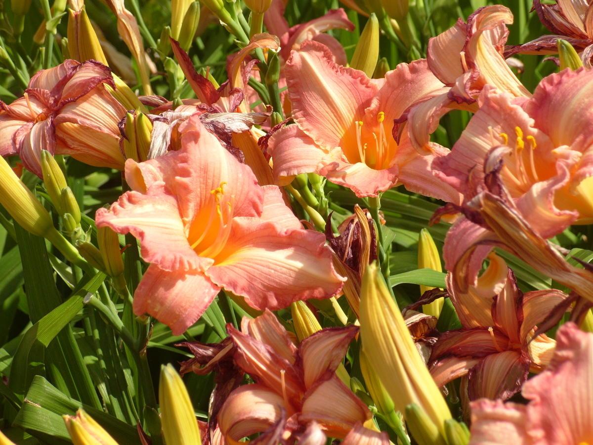 сорт Рапсодия в розовых тонах