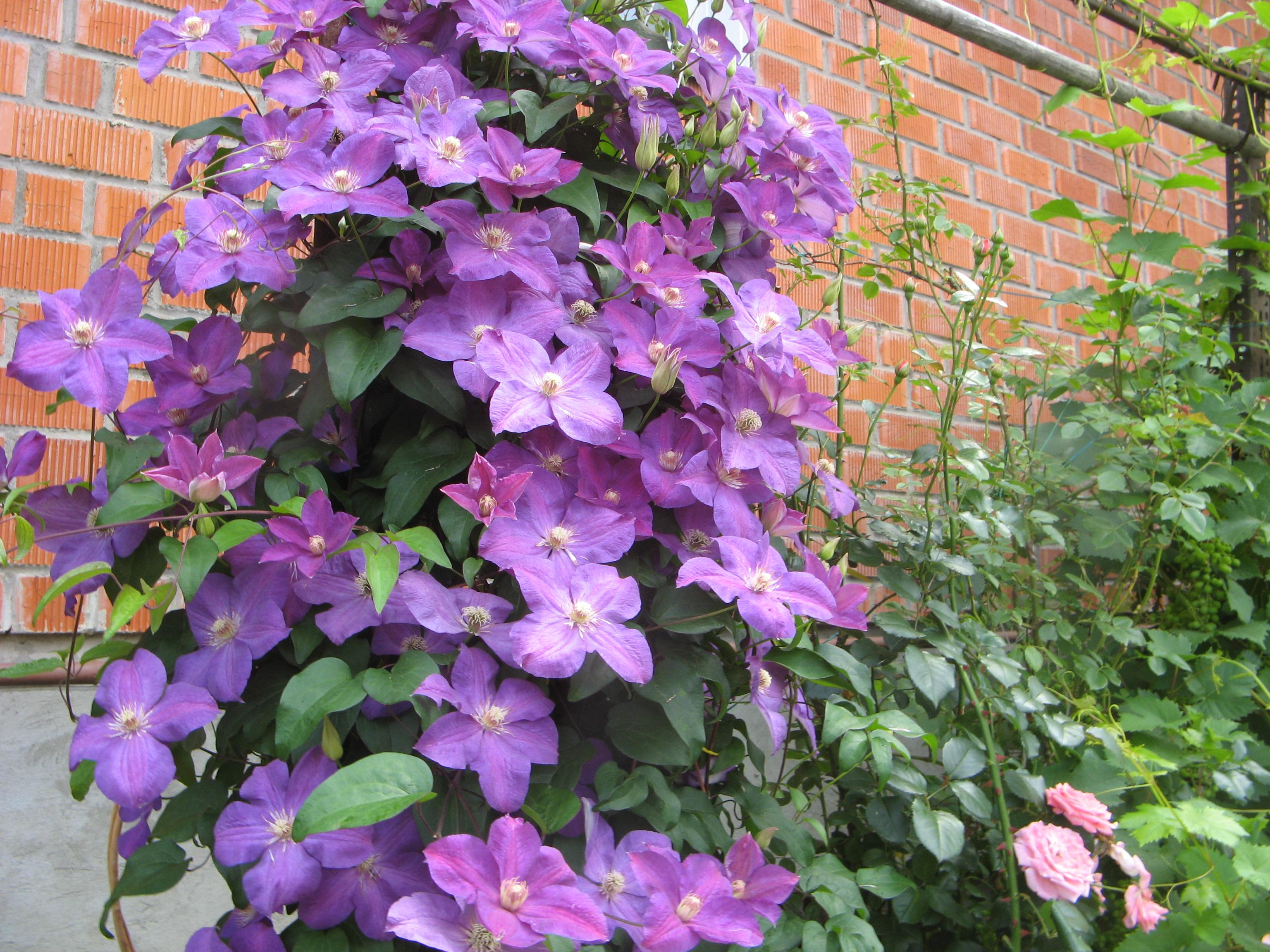 Вьющиеся уличные цветы название фото
