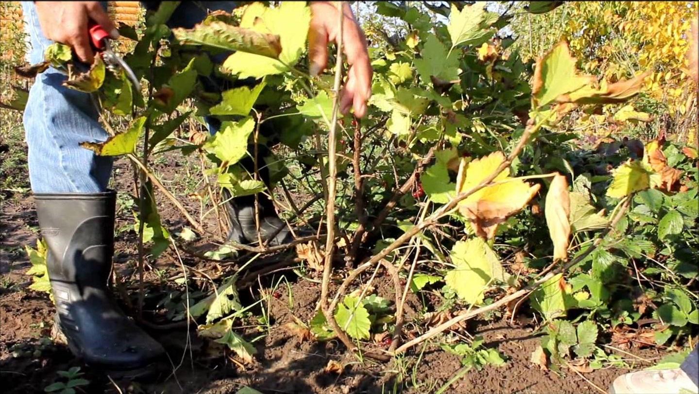 Сажаем ягодные кустарники осенью 544