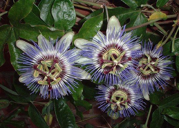 сорта пассифлоры Passiflora caerulea