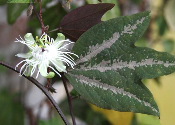 сорта пассифлоры Passiflora trifasciata