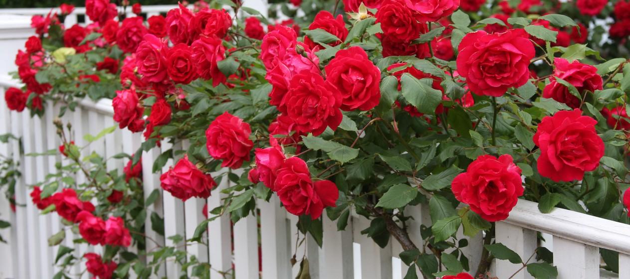 """Роза - это """"королева"""" любого сада. Непревзойденное и аристократичное украшение"""