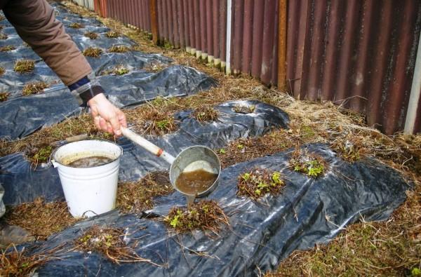 Поможет окрепнуть ягоде после зимнего периода